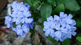 【植物】蓝雪花
