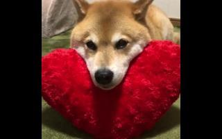 【柴犬Maru】Maru版的抖音挑战?
