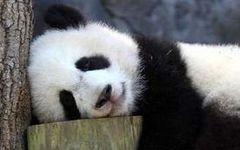 【谁能想到,看上去呆萌的大熊猫身手竟如此敏捷……】