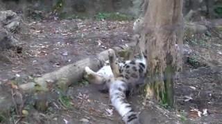 【雪豹】雪豹的沙雕玩闹合集
