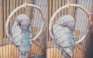 【虎皮鹦鹉】新人的养鸟日记