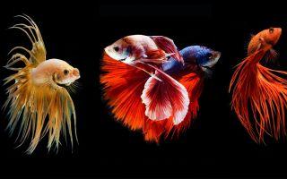 有趣!泰国发明斗鱼玩法,看两只金鱼在水中优美打架!