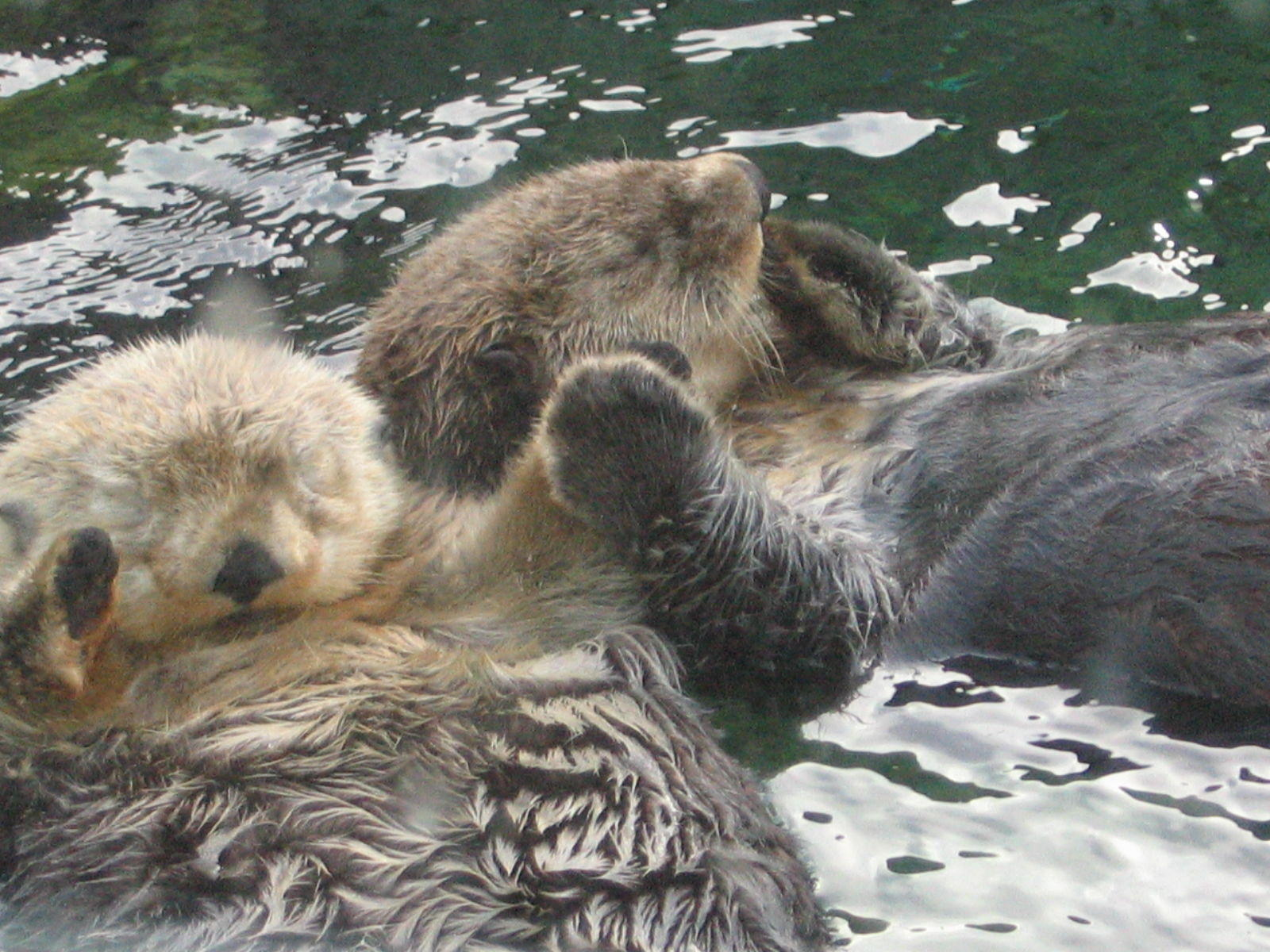 Image 15505 Otters Holding Hands Know Your Meme