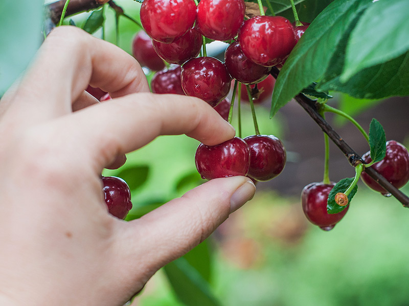 Image result for cherry picking