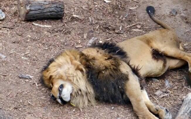 Imagem de site de notícias chileno: ação do zoológico é chamada de assassinato nas redes sociais