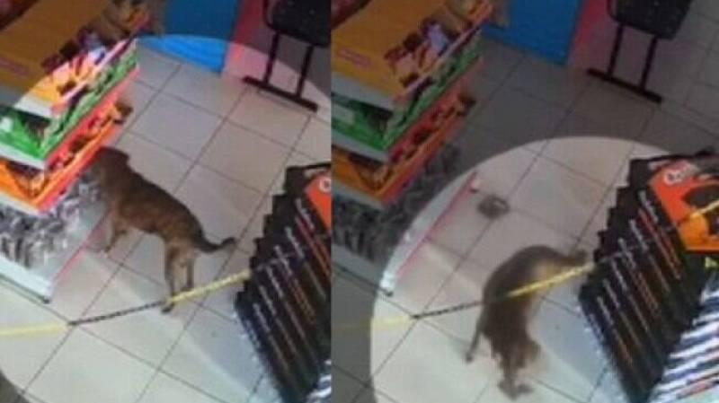 Cachorro furta petisco em pet shop
