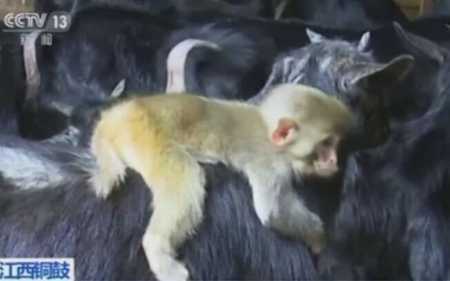 O macaco agarrou uma das cabras do rebanho e não quis mais soltar, contou fazendeiro
