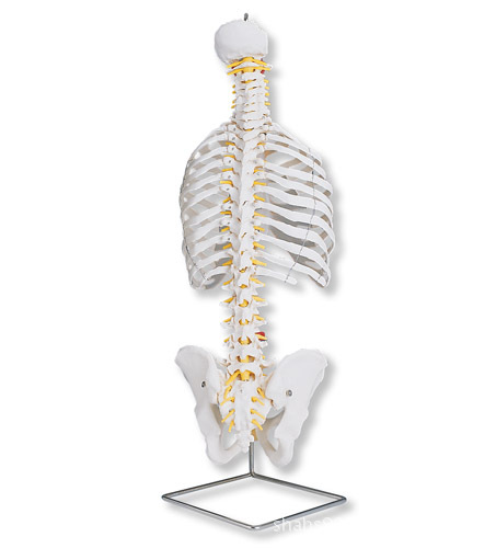 脊椎模型_脊椎骨模型_微信公眾號文章