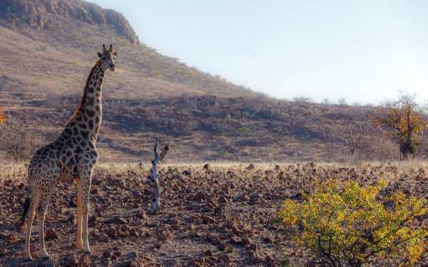 Обои для рабочего стола: природа, жирафа