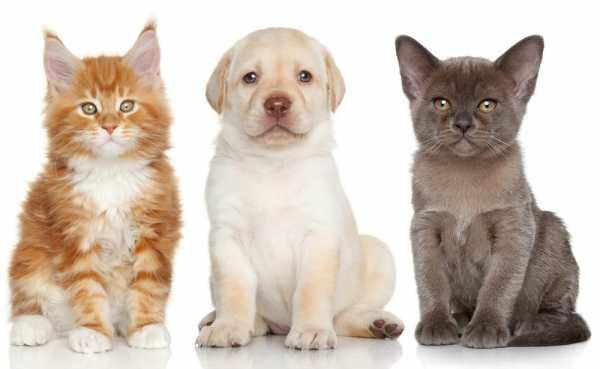 Обои для рабочего стола: Бурманская кошка, котята, щенок ...