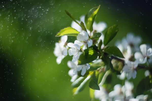 Обои для рабочего стола: природа, весна, цветы, вишня, ветка
