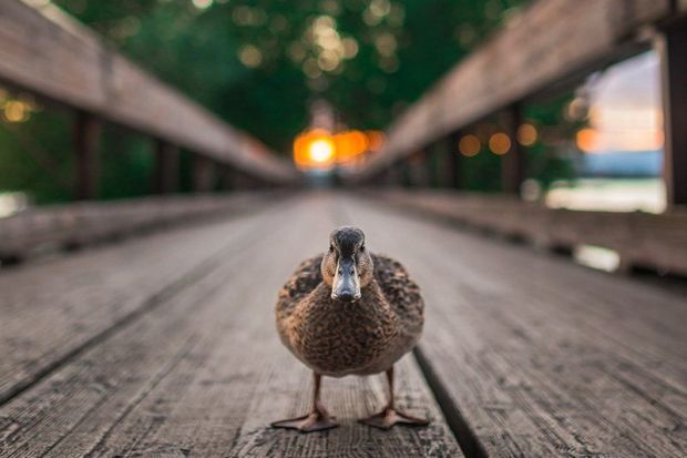 A female duck stands in the middle of a wooden bridge at ...