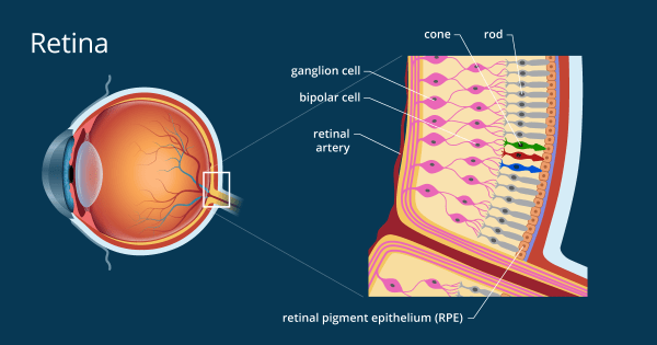 Retina - Definition and Detailed Illustration