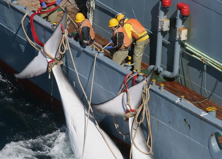 Minke whales - Jeremy Sutton-Hibbert