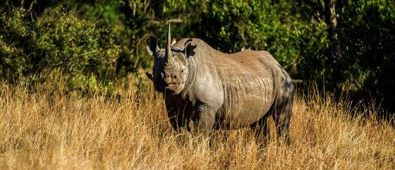 Black rhino on Ol Pejeta Conservancy