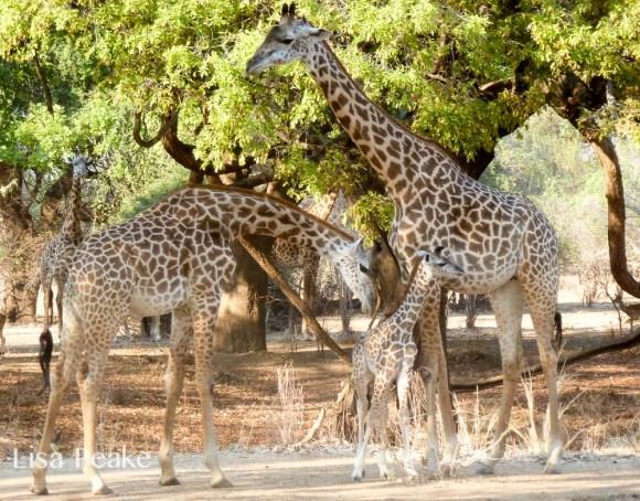 GiraffeLisa7.092246.jpg
