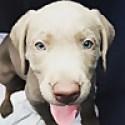 Toronto Labrador Puppies