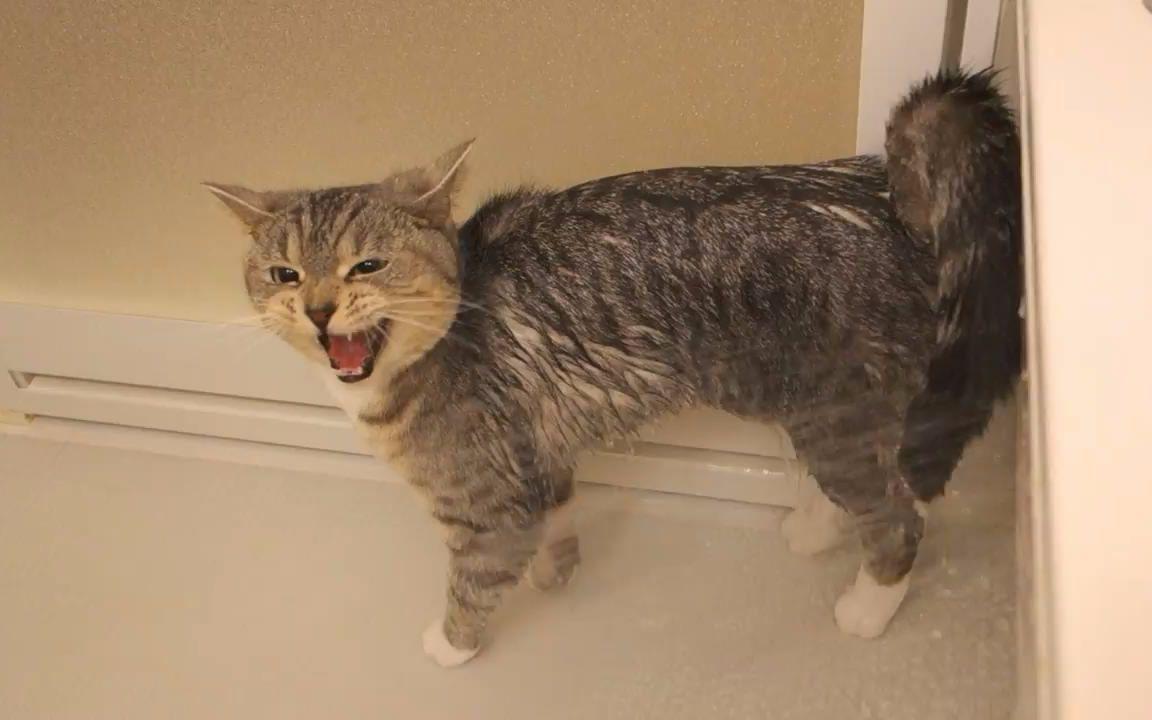 貓咪洗澡各種嚎叫,不知道的以為虐貓呢_動物圈_生活_bilibili_嗶哩嗶哩