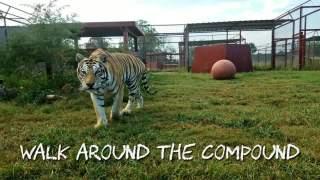 【大猫德里克】日常看大猫 485期