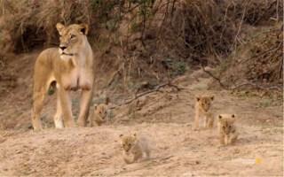 新生幼崽由狮子妈妈领回大家庭 与哥哥姐姐玩耍
