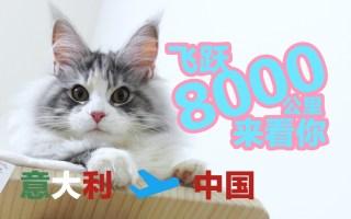 最甜美的缅因猫从意大利来中国,飞行了8000公里,过海关需要哪些手续呢?