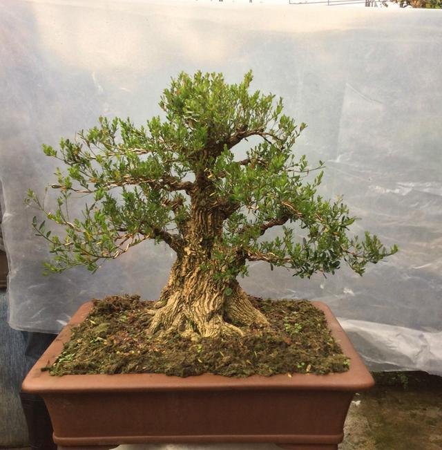 20餘年培植黃楊盆景的趙師傅:「培植好的黃楊盆景的四個點」 - 每日頭條