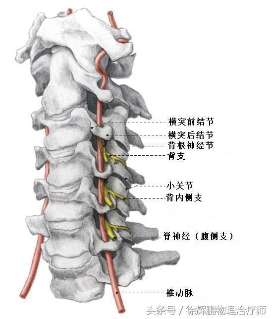 椎間關節錯位的病理最新認識 - 每日頭條