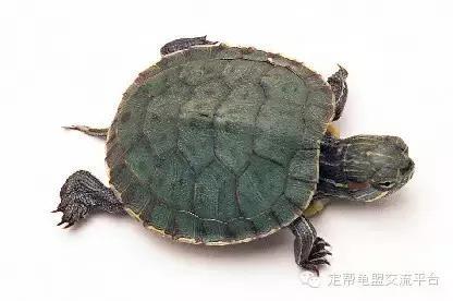 小烏龜怎麼養(飼養成功率100%) - 每日頭條