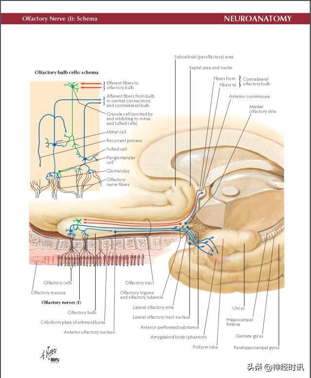 Netter腦神經解剖(精美原版高清彩色大圖) - 每日頭條