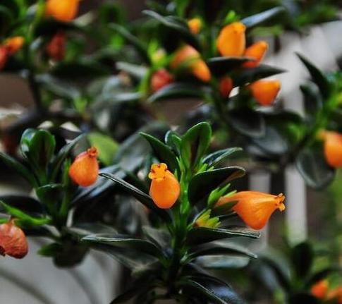 金魚吊蘭,酷似金魚的植物 - 每日頭條