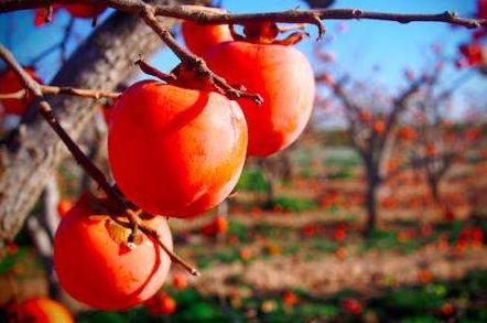 柿子可以連皮一起吃嗎 柿子連皮一起吃了會怎麼樣 - 每日頭條