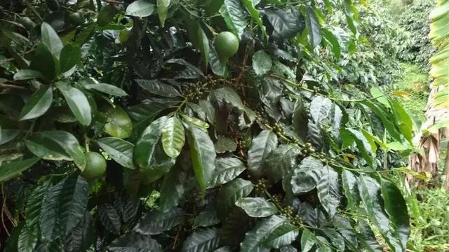 【咖啡種植】如何監測 & 預防咖啡葉鏽病 - 每日頭條