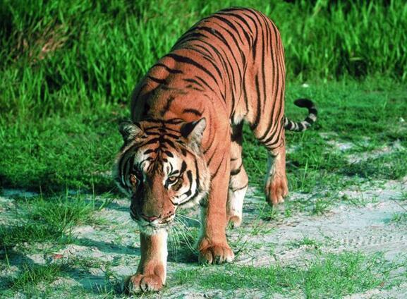 6大戰鬥力最強的貓科動物,老虎第二獅子第三,第一我服你! - 每日頭條