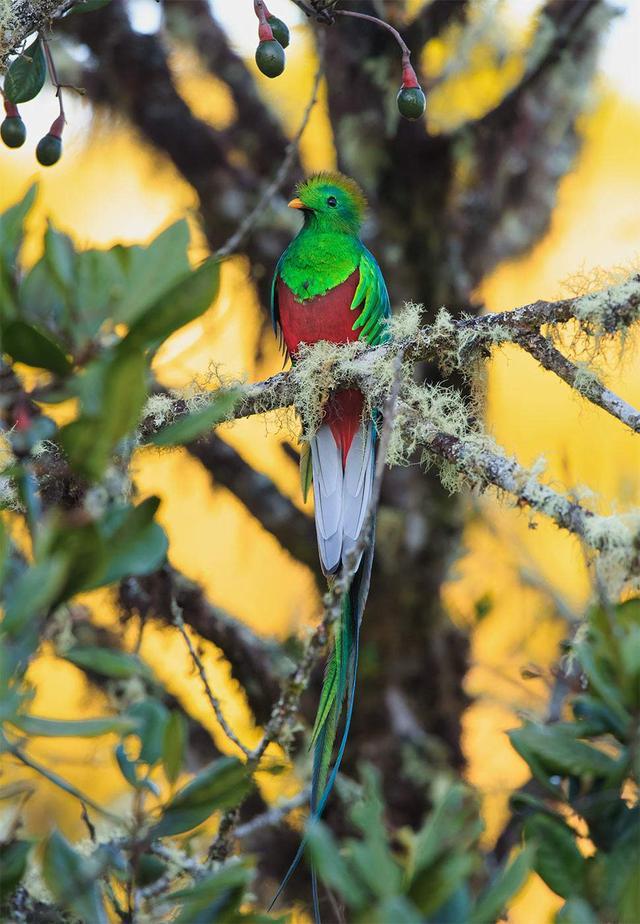 寵物聚焦鳥兒篇:鳳尾綠咬鵑(世界最美的鳥) - 每日頭條