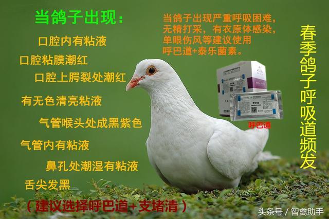 鴿子爛嘴甲用什麼藥好? - 每日頭條