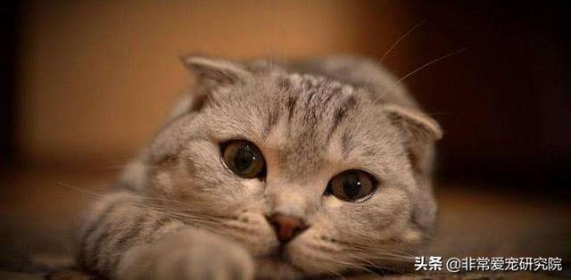 我家貓咪突然流鼻血了,這是為什麼?鏟屎官們該如何治療和預防? - 每日頭條