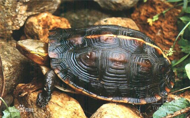 寵物專題|爬行動物中的小萌神——烏龜介紹篇 - 每日頭條