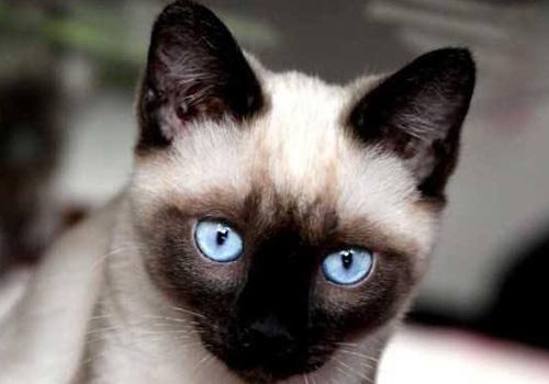 寵物暹羅貓咪的口腔怎麼護理? - 每日頭條