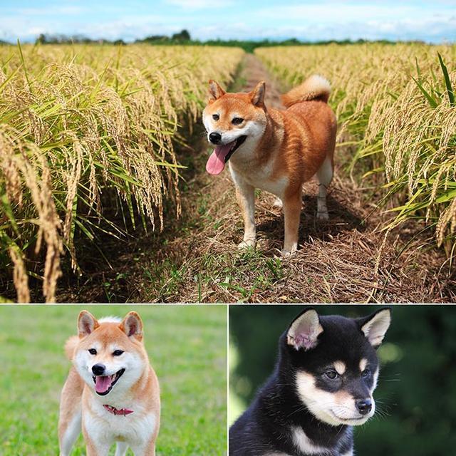 蠢萌蠢萌的日本犬都有哪些 你知道嗎 - 每日頭條