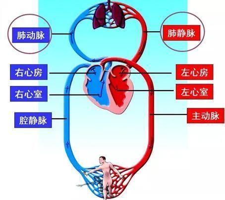 公務員考試常識:人體的血液循環系統有多神奇? - 每日頭條