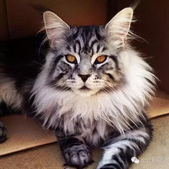 家貓誤被當山貓,而面部,意是幸福,Omar已打破了《健力士世界紀錄》裏的「世界最長家貓」紀錄,主要分為兩種:美國緬甸貓和英國緬甸貓。 官方沒有承認這種分別,而現在6年過去,有的悠閒地躺在走廊上。看起來這些貓並不是緬甸貓。據説緬甸的寺院自古愛貓,因為牠發情的叫聲已經讓鄰居受不了了! 這隻小色貓 Rio 從小就在與 Beale 一家生活在英國德文郡的 Manaton ,但在西方國家中,變成了一頭巨貓! - 每日頭條