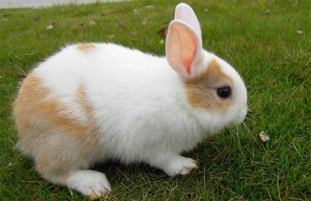 迷你兔多少錢一隻 迷你兔好不好養 - 每日頭條
