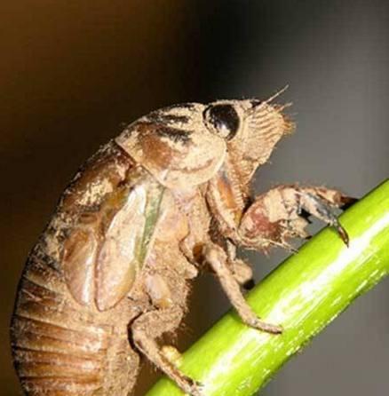 蟬的若蟲蟬蛹有什麼功效呢 - 每日頭條