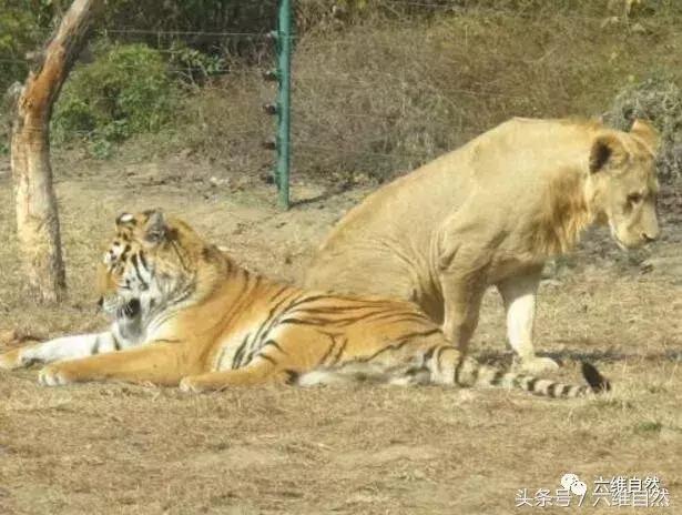 以為用航拍機就能拍到獅虎同籠全景,獅子不出手,老虎可不會放過 - 每日頭條