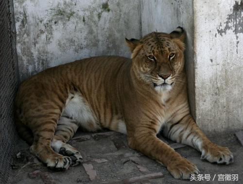 獅子與老虎的混血後代,形似獅子,卻長有虎紋,還喜歡游泳 - 每日頭條