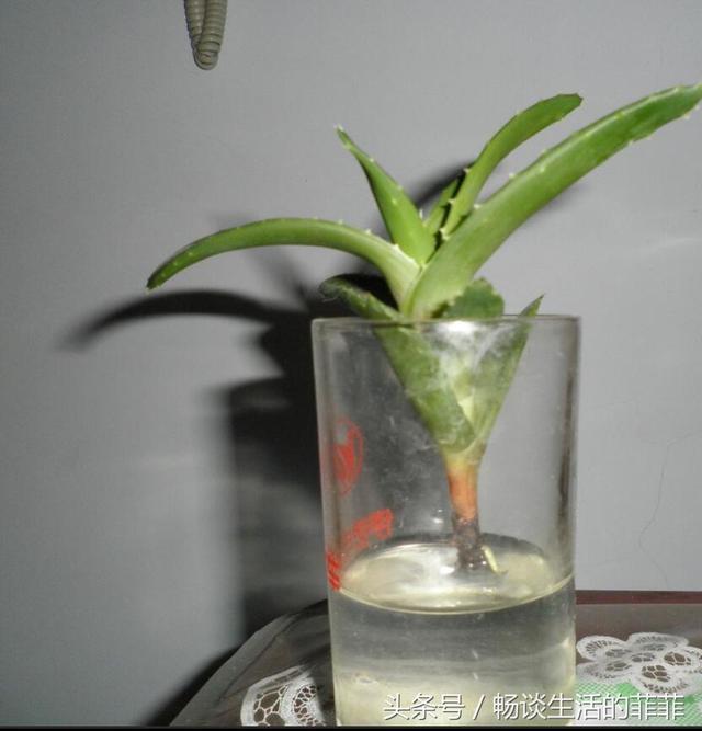 水培蘆薈的兩種方法,估計很多花友還不知道吧 - 每日頭條