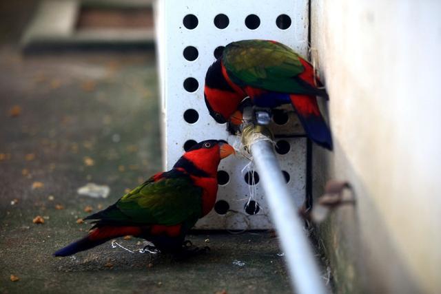 超市門口有人賣鸚鵡,報價15元人民幣,吸蜜鸚鵡該不該買? - 每日頭條