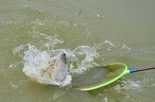 作釣適應力超強的羅非魚,窩料得這麼配製! - 每日頭條