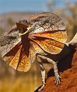 寵物小百科蜥蜴篇:傘蜥 - 每日頭條