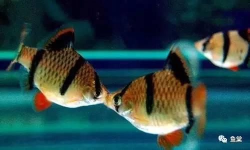 總結:十種最適合於水草缸的小型熱帶魚(長文乾貨,盈江拍鳥行(八) 107.1.6-18